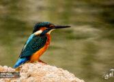 کرمان؛ استانی جذاب برای علاقمندان به زیست پرندگان