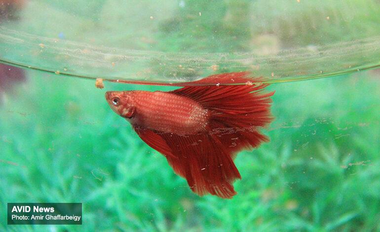 ماهی قرمز را با رعایت توصیههای دامپزشکی بخرید