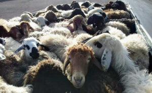 گوسفندان قاچاق به مقصد نرسیدند